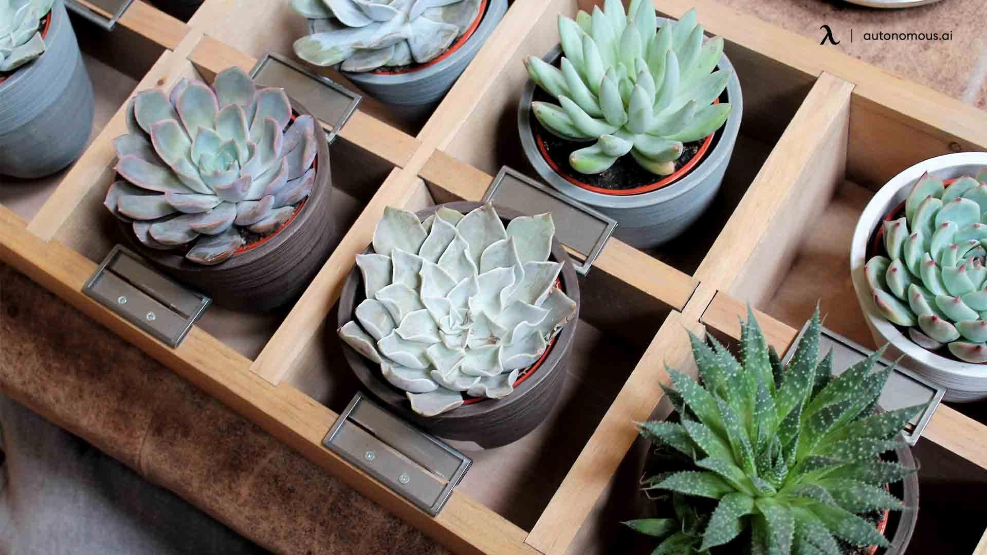 Desk scculents